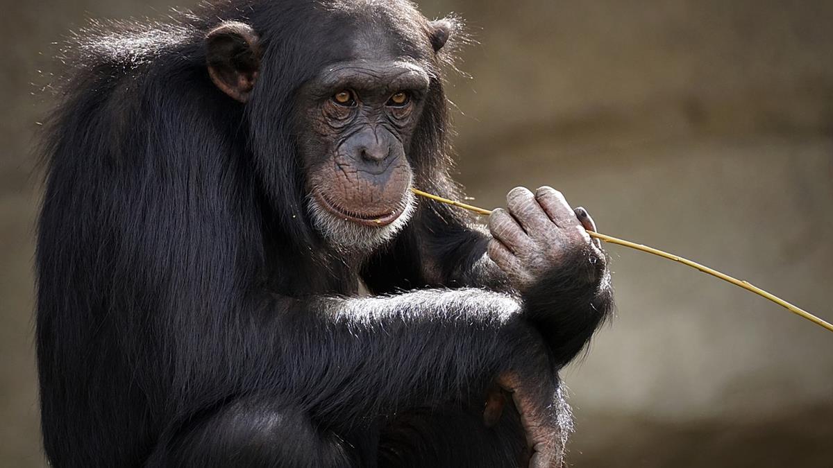 不憑力氣憑智慧 年長黑猩猩家族地位高
