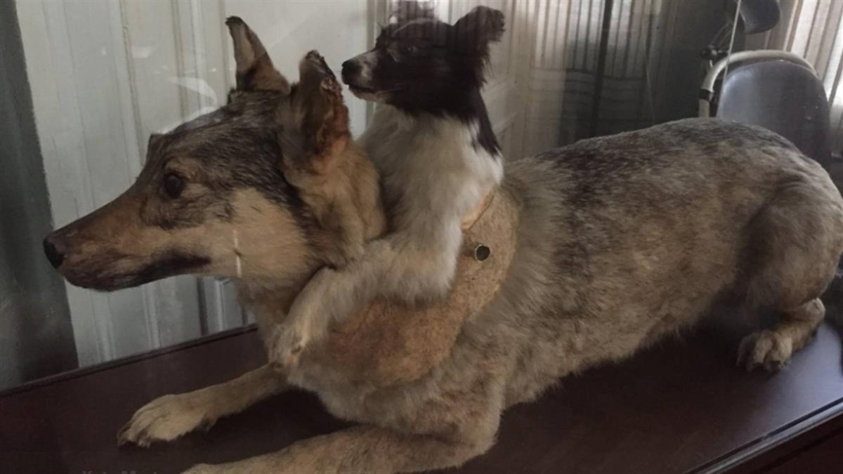 打造「雙頭狗」!科學家砍半身共生 變態駭人實驗曝光