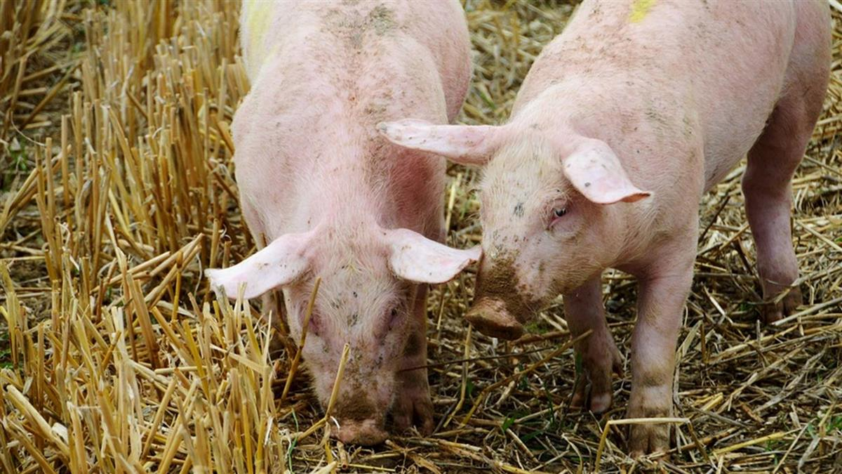 非洲豬瘟攻陷貴州 疫情擴及中國13省市
