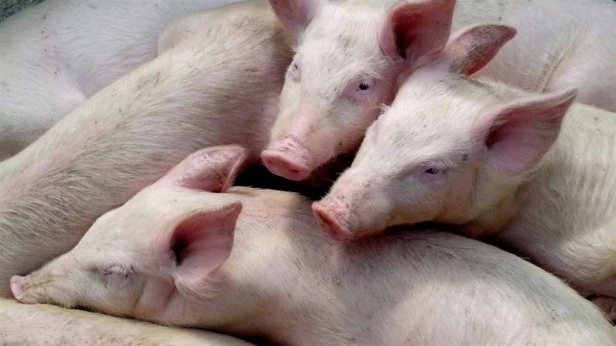 非洲豬瘟 湖南常德再添一疫情