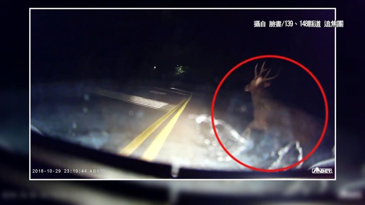 神獸4ni?騎士夜騎八卦山 撞見巨型野鹿:比機車大