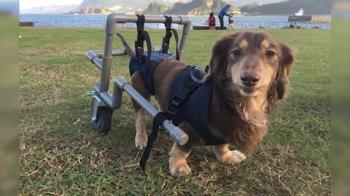 無悔!9歲愛犬半癱手術3次 主人製暖心輪椅重新奔跑