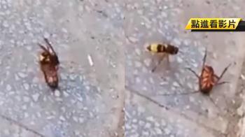 虎頭蜂激戰大蟑螂 結局超驚人!49秒影片網跪了