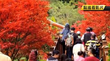 秋意濃!杉林溪楓葉轉紅 遊客讚:太美了