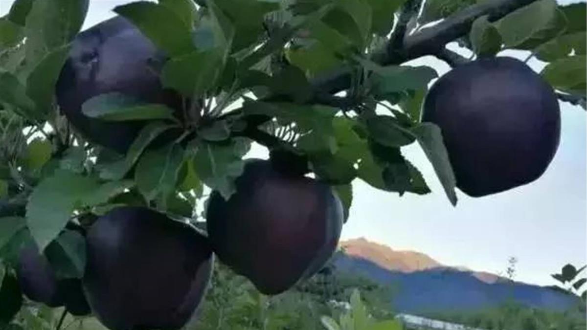 1顆665元!「神奇黑蘋果」果農卻拒種 心酸真相曝光