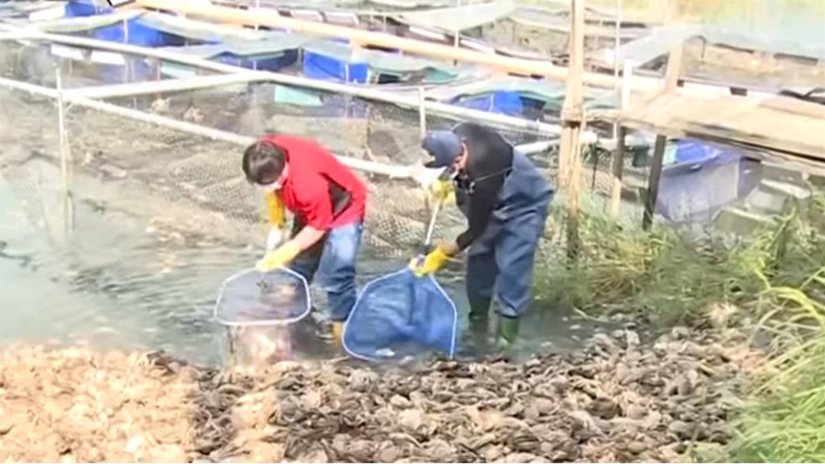 戴奧辛大閘蟹今打撈 短缺1400公斤流去哪