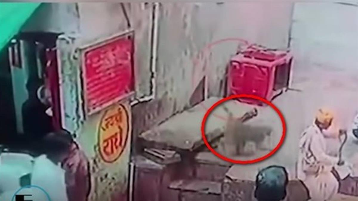 餓到吃毒蛇!印度潑猴2秒搶走眼鏡蛇「殺死生吃」