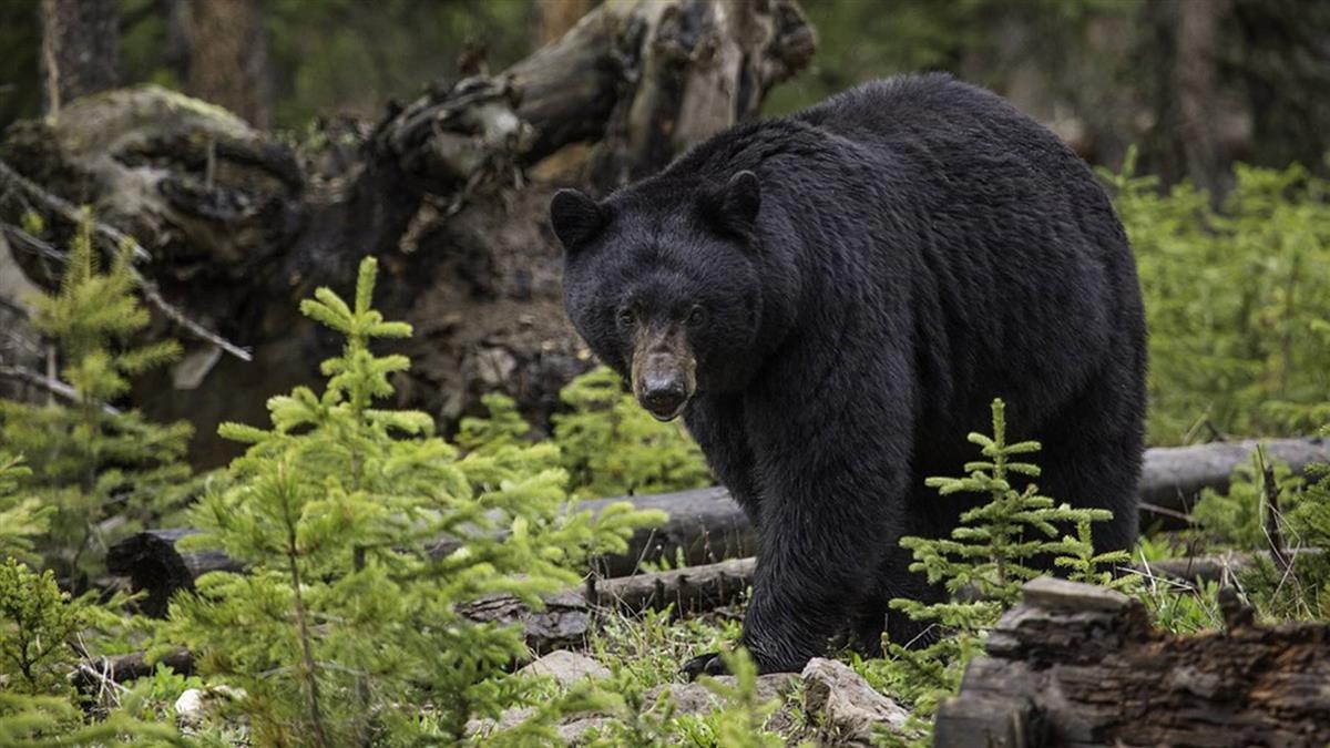與熊為伍28年!愛心女橫死森林 熊群這樣保護她遺體