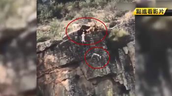 「狗要掉下山崖了」獵人不顧警告 野鹿與12隻獵犬全墜崖