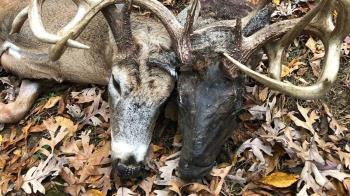 森林驚見獵奇「雙頭鹿」…其中一顆發黑腐敗!