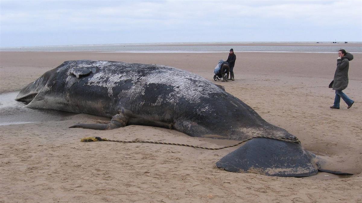 海洋悲歌 抹香鯨胃藏近6公斤塑膠垃圾