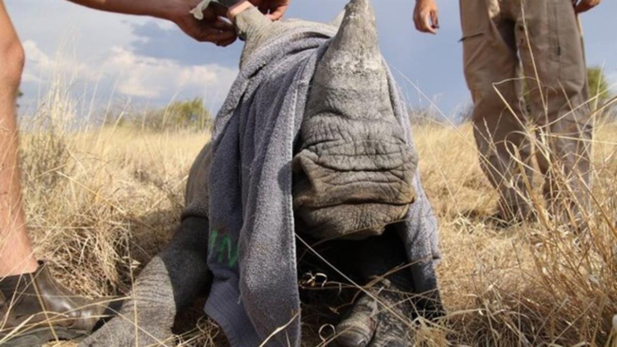 目睹媽媽遭殺害!小犀牛瑟縮屍體旁發抖 悲泣不分離