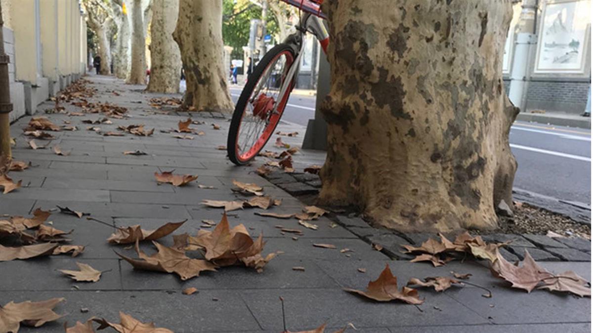 今秋偏暖!上海落葉不落 落葉景觀道路不見五彩地毯