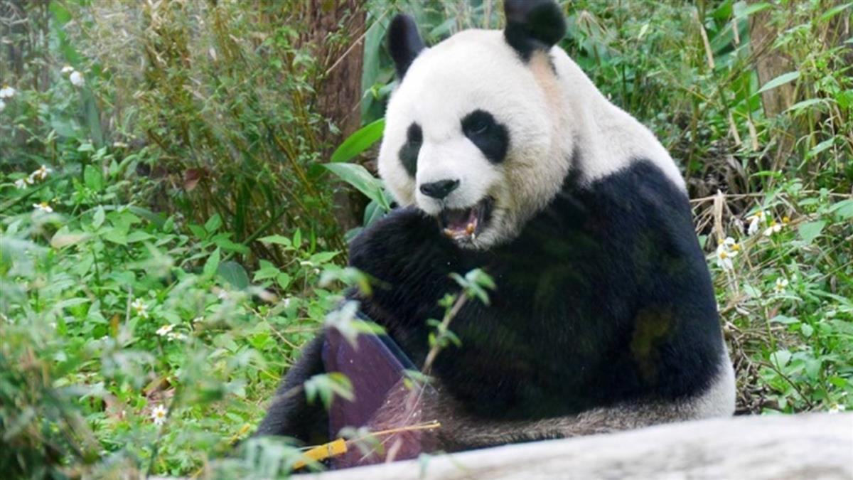 貓熊危機!棲息地破碎化 最低面積需要半個台北市大