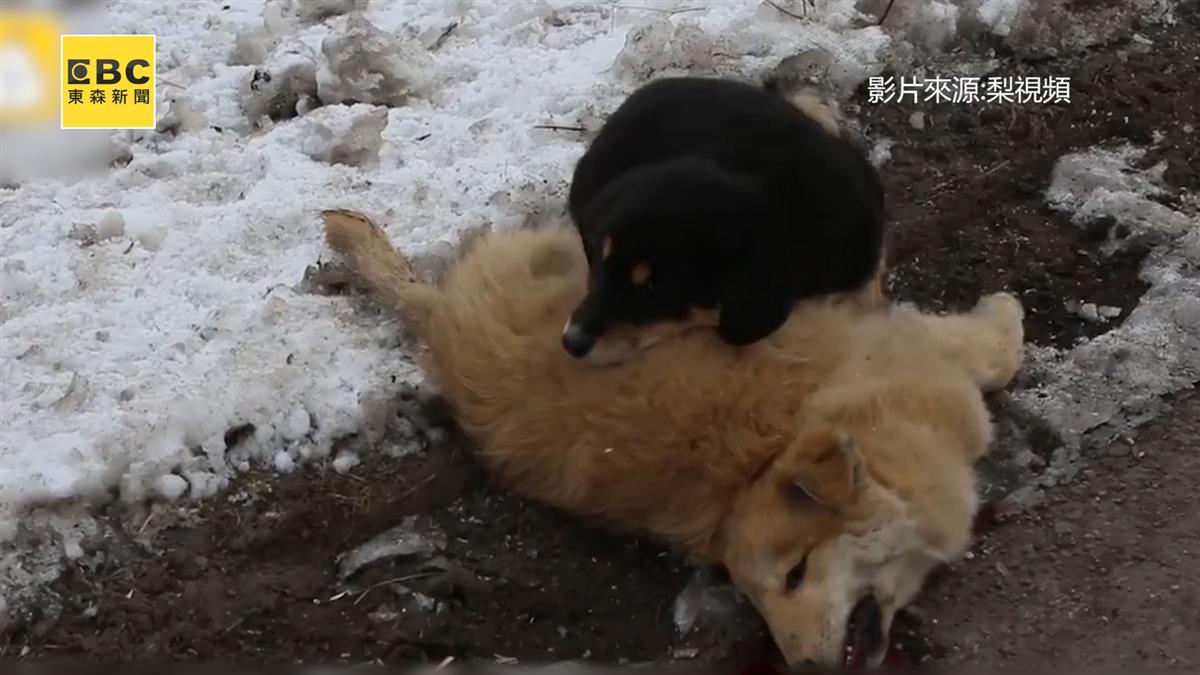 目睹同伴撞死...小黑狗心痛守護 冰雪中害怕發抖不離去