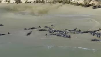 145頭領航鯨擱淺紐西蘭 救不活…忍痛安樂死