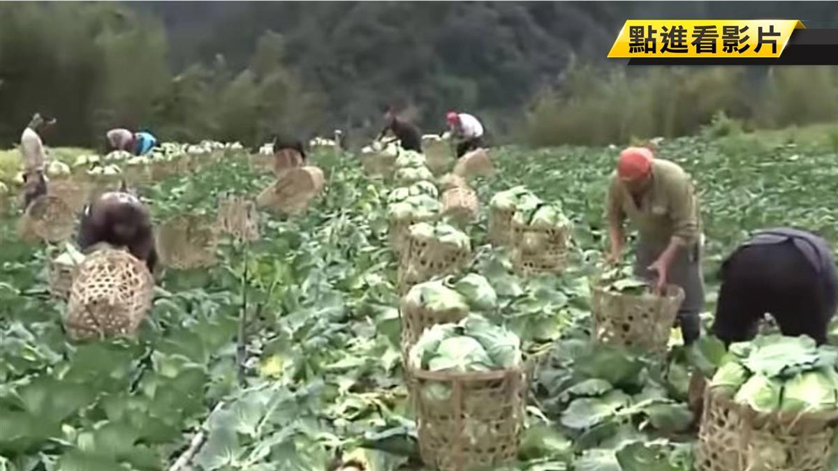 「賣一顆賠兩顆」高麗菜價格崩盤 農民心裡苦