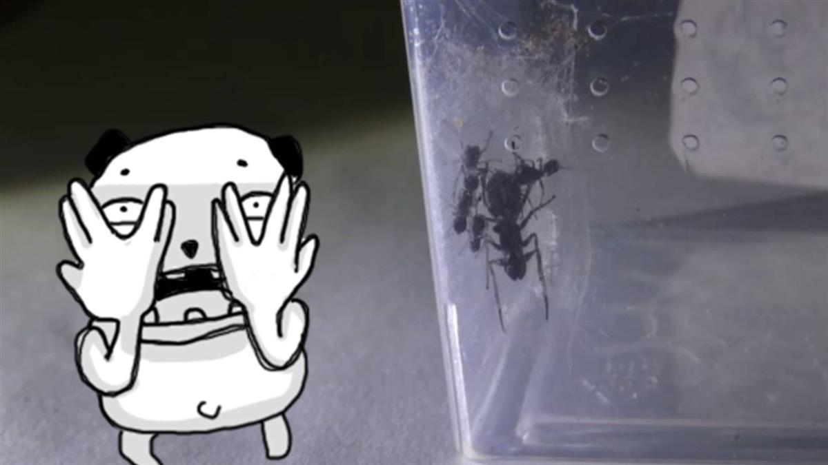 全球首見!會哺乳的大蟻蛛 乳汁蛋白含量是牛奶4倍