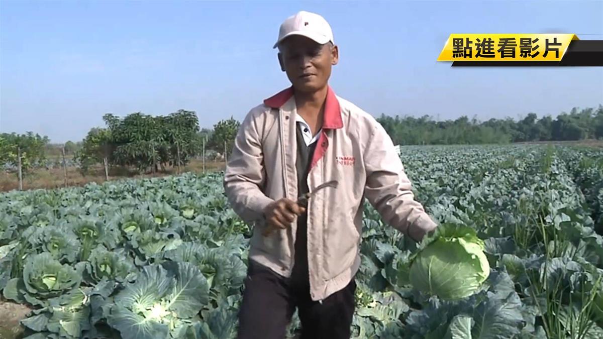 高麗菜價格慘跌 農民放棄採收開放賠錢自採