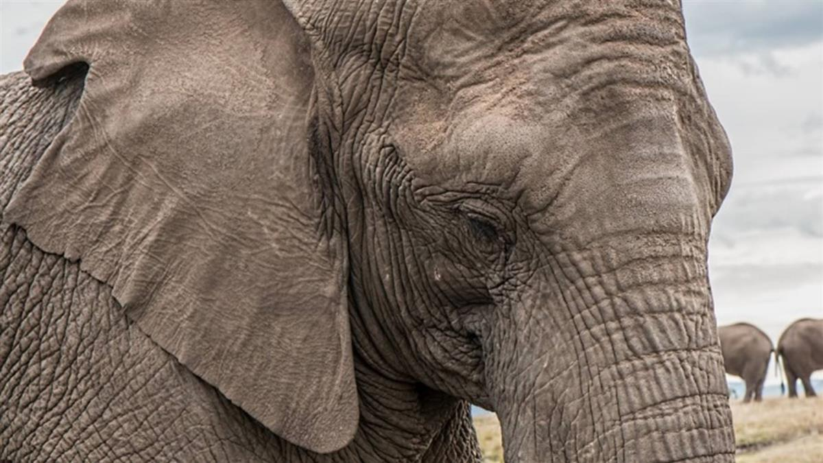 南非動物園寡居母象是否放歸草原...引爭議
