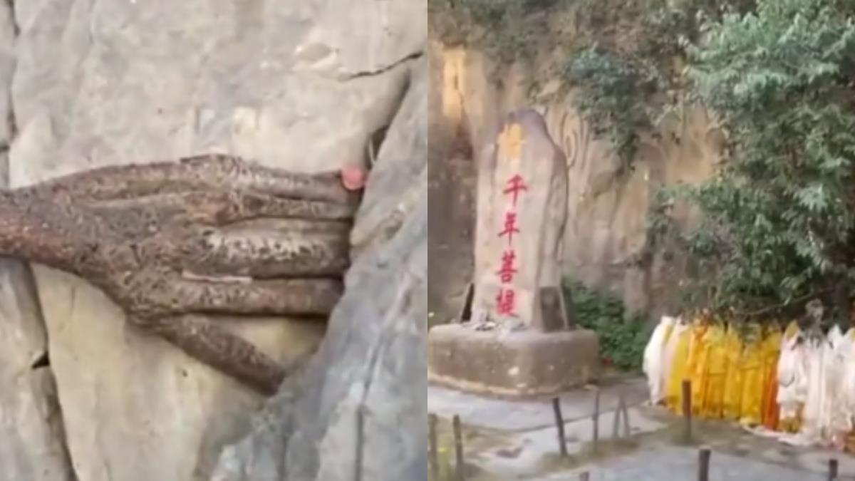 3千年菩提樹一夜長出「佛手」 西藏高僧神解…