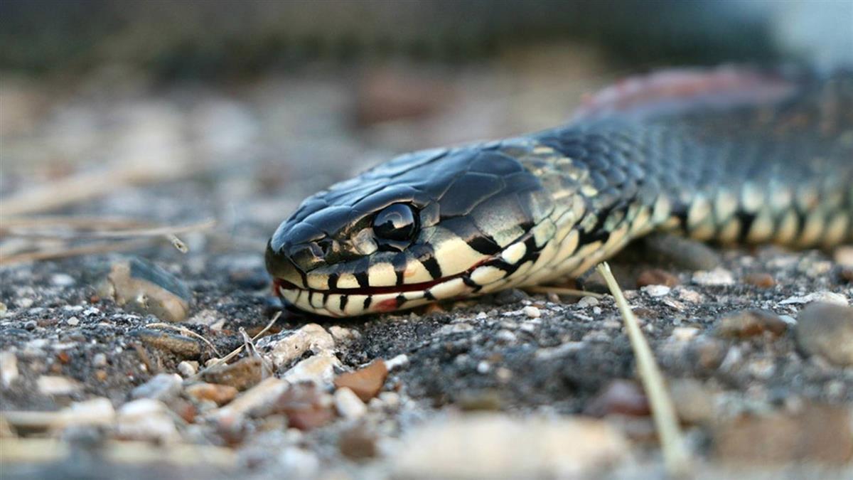 遭蛇吻 醫師:千萬別吸吮或切開傷口