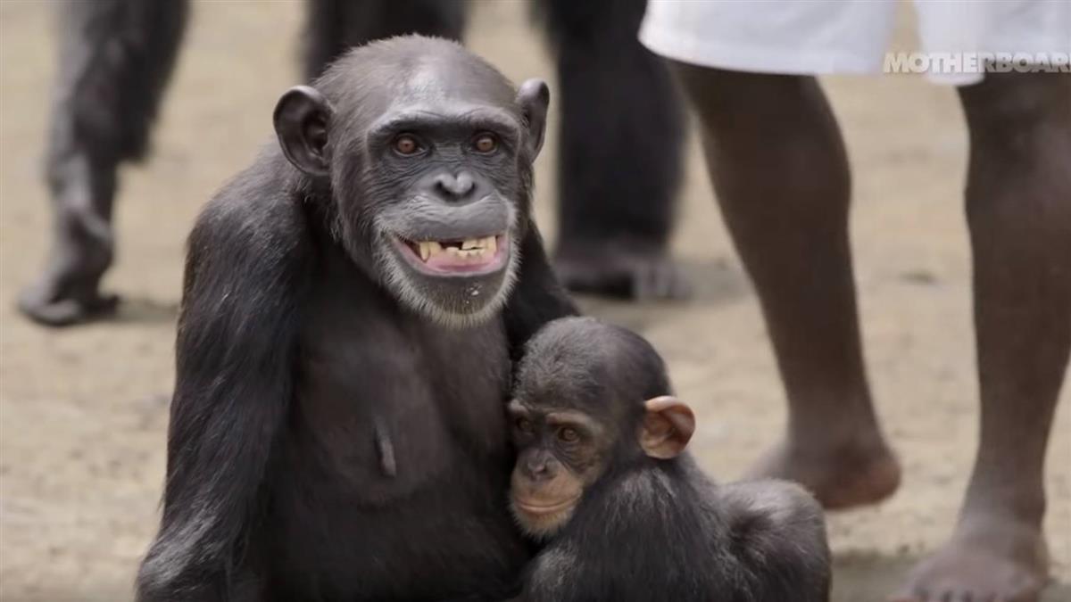 美實驗猩猩遭丟棄荒島 搖身惡霸…驚傳吃人!