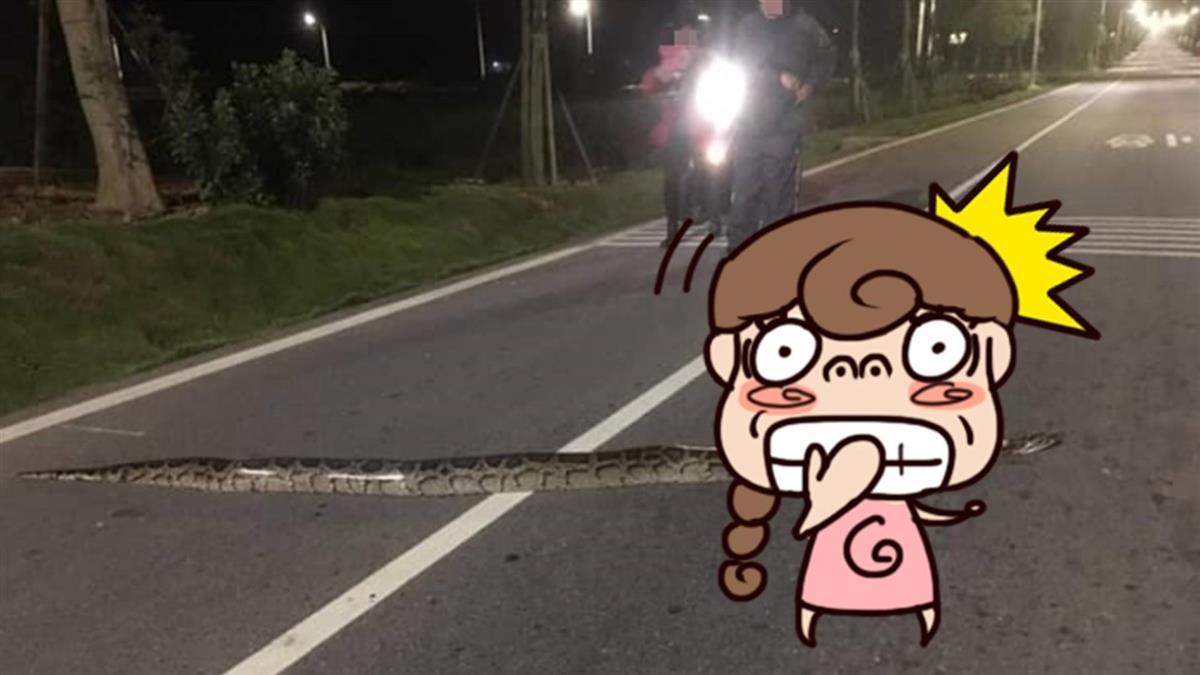 馬路驚見2尺「反光肥蟒」網:千萬勿壓!專家說話了