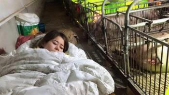 27歲正妹「陪豬睡」6年!人工呼吸救400豬 年收超驚人