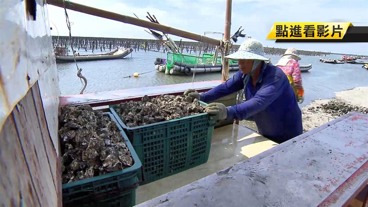 受東北季風影響 東石蚵仔產量少價格漸升