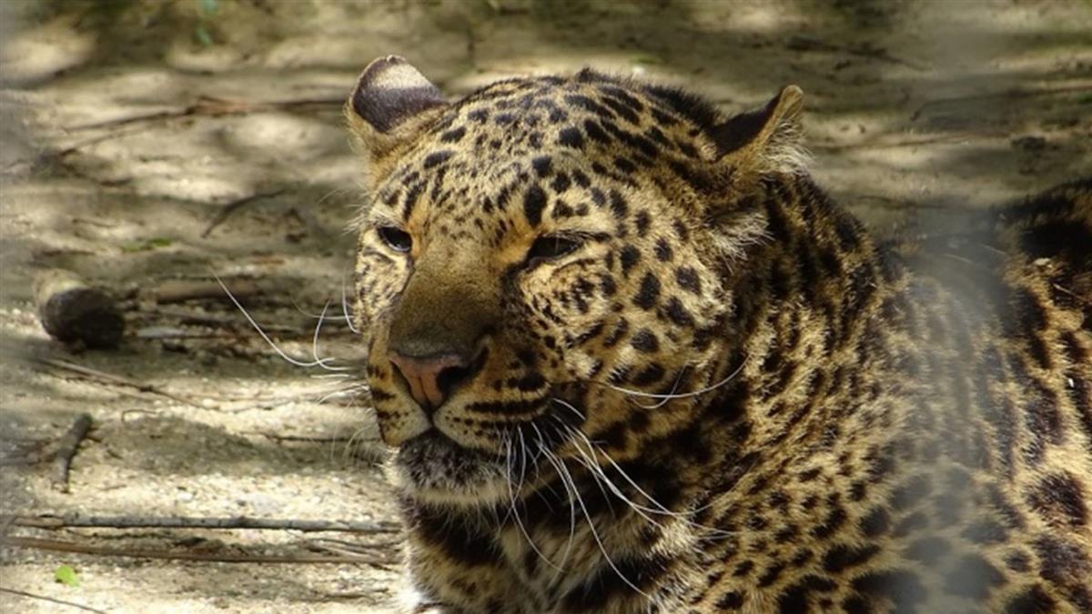 不理會警告 印度僧侶林中打坐遭豹襲致死