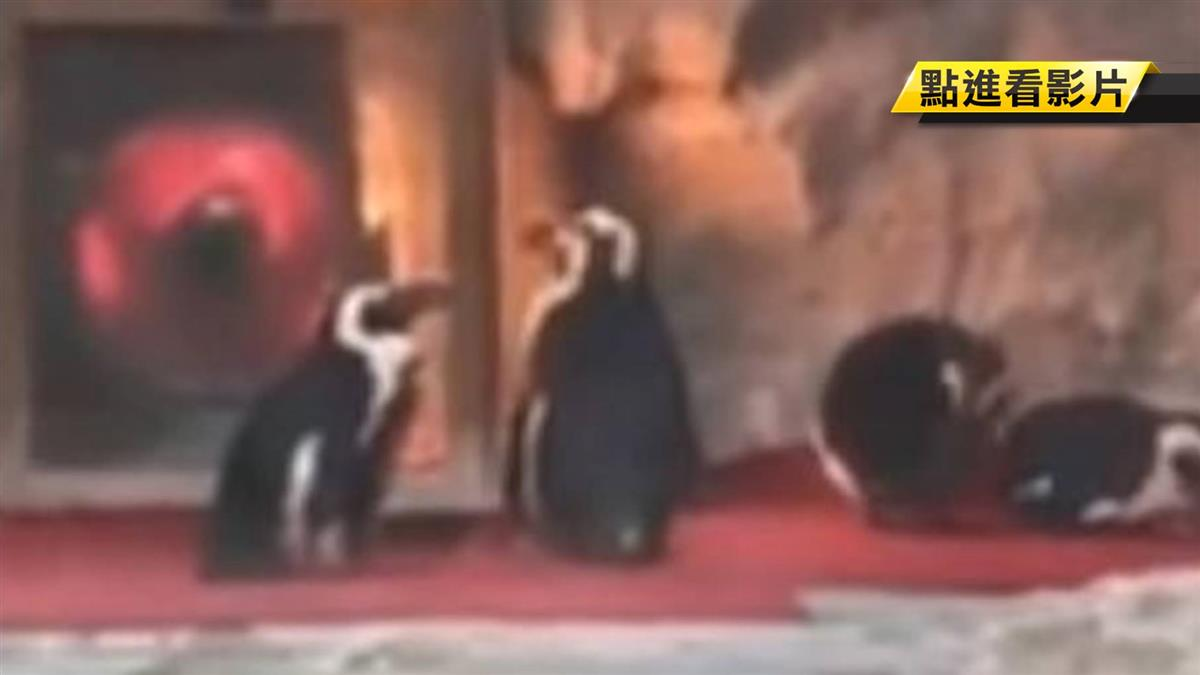 成都比南極冷?企鵝排隊「圍爐」取暖!網:想當烤鵝