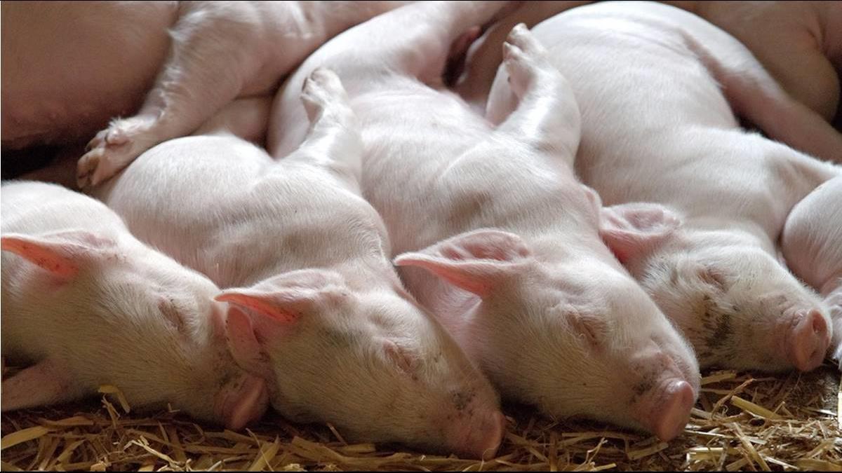 非洲豬瘟若發生 掩埋用地可處理近160萬頭
