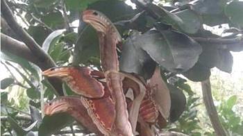 青眼究極龍?樹上驚見「血色3頭蛇」 神人解答長知識