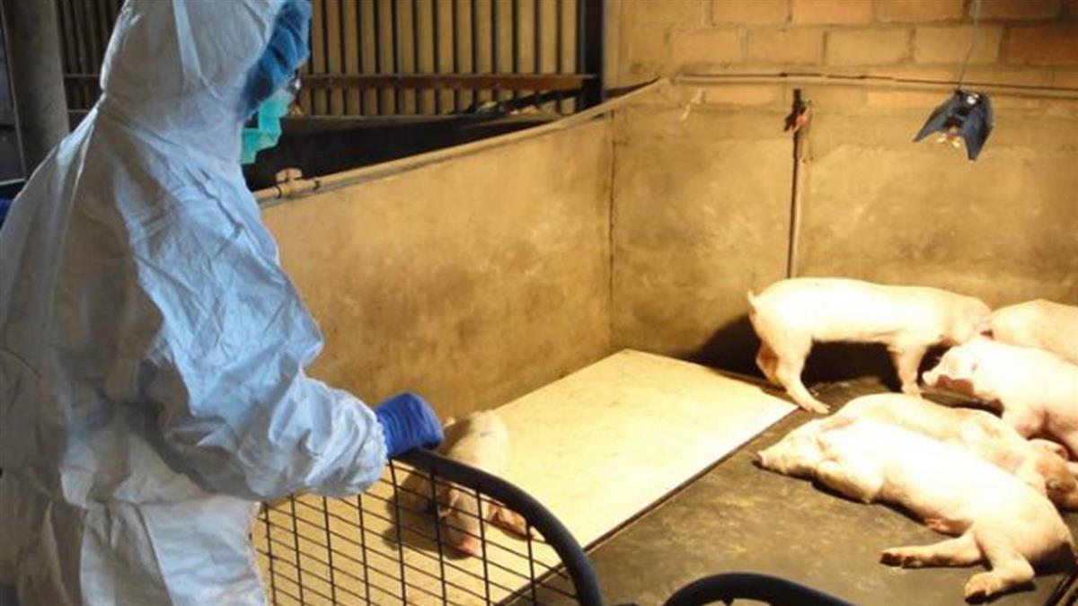 非洲豬瘟逼近 香港提高戒備