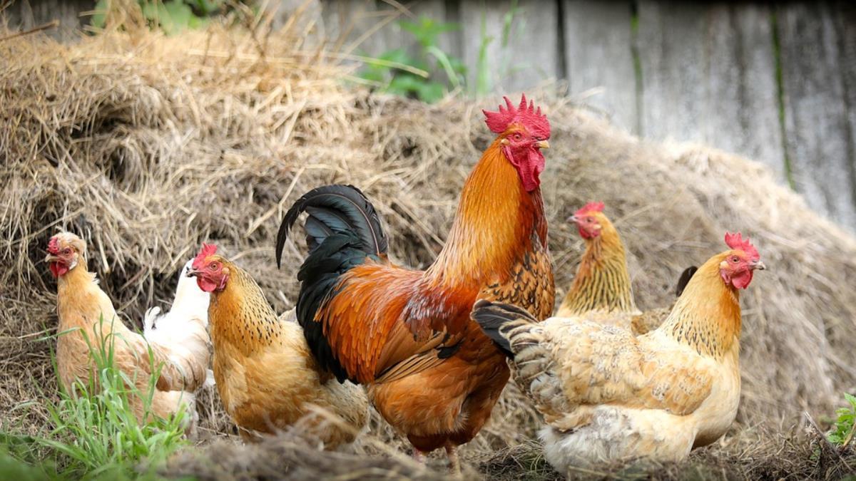 嘉義野溪棄雞屍驗出H5N2 警追查丟棄民眾