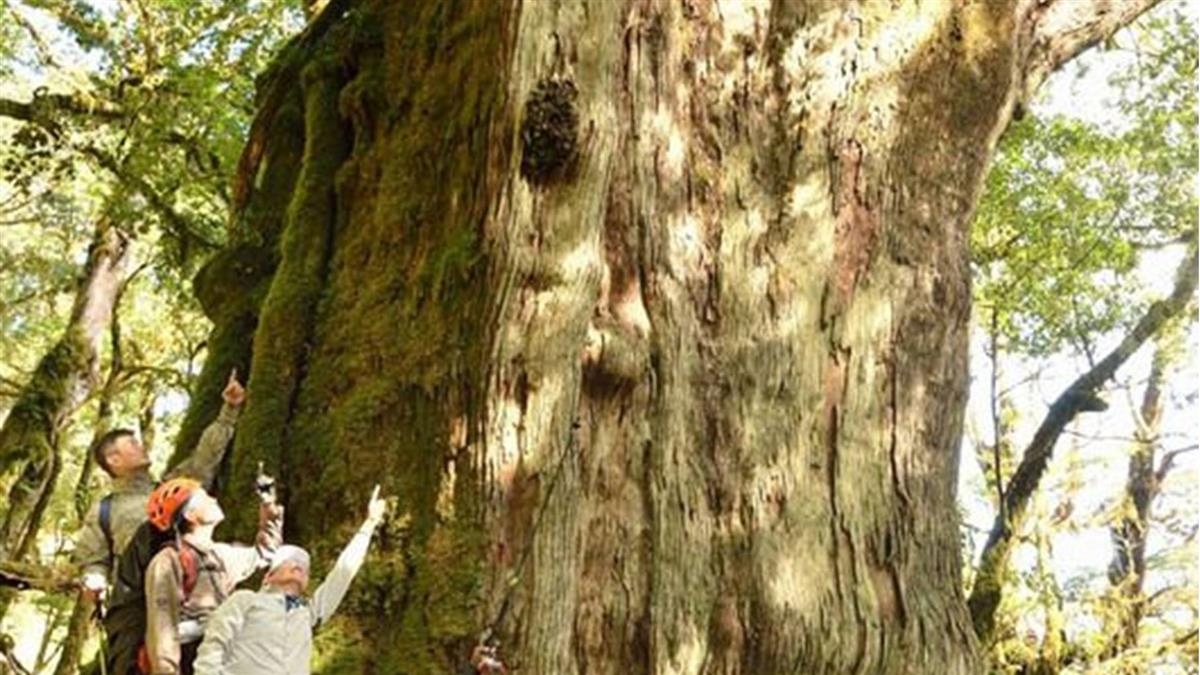 沉睡千年!特遣隊深入中央山脈 驚見百棵紅檜巨木群