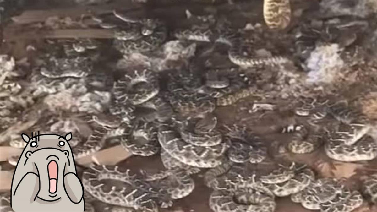 竄出1條毒蛇…3男掀開地板驚見「35條狂扭」嚇瘋