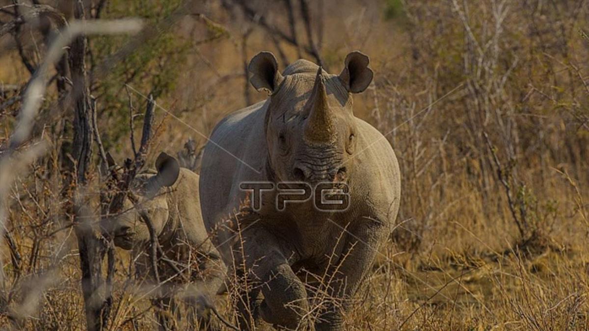 致命海嘯若再襲印尼  極危爪哇犀牛恐滅絕
