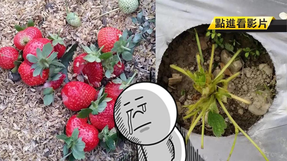 親子團進草莓園「剪拔踩刺」 園主痛心閉園休整
