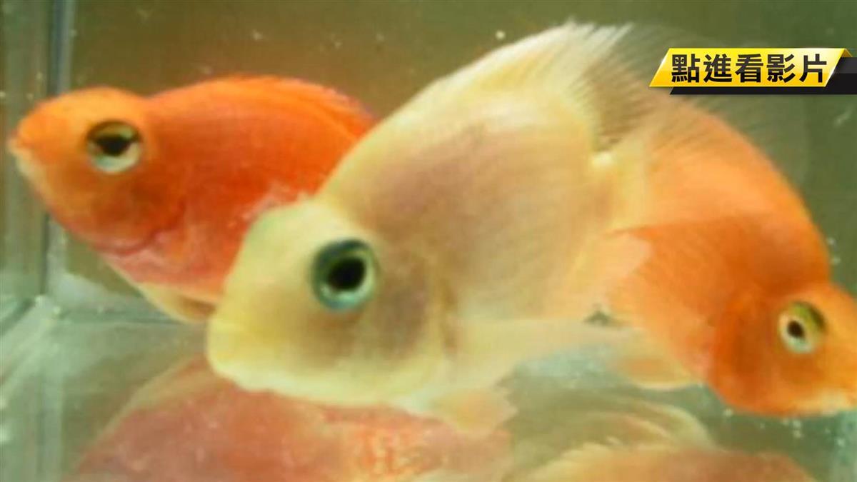意外收穫!教授養魚意外發現「菌紅素」能美白