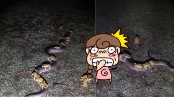 超囂張!數十隻蟾蜍騎蟒蛇…一字排開「搭公車」