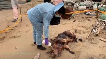 金門海邊死豬確認非洲豬瘟 海陸空防堵漏洞