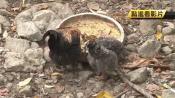 鹿谷婦人養54隻雞 半年剩6隻!兇手竟是牠