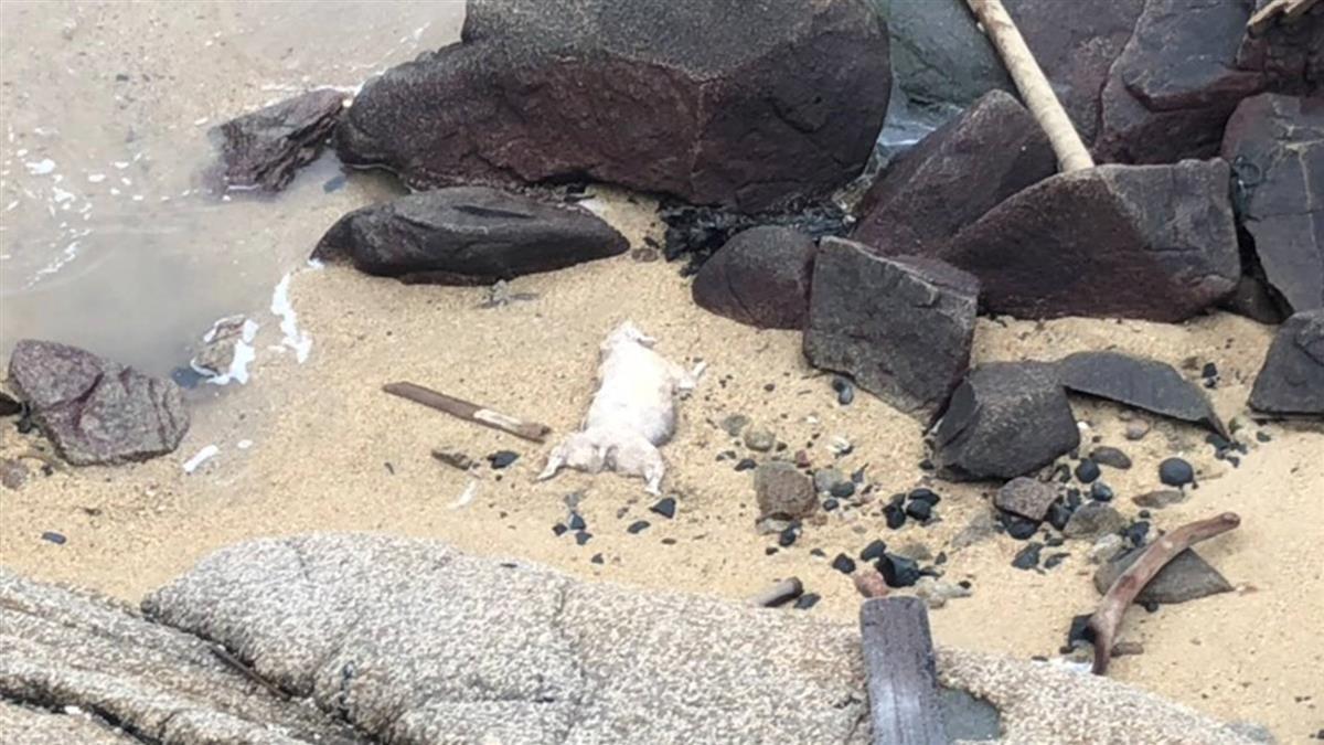 嚴陣以待!金門烏坵海灘再發現死豬 已拉起封鎖線