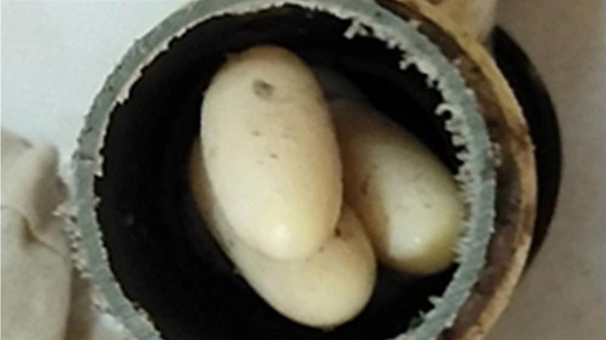 超大粒!水管驚見9顆蟒蛇蛋 超狂人妻用滾水燙熟…