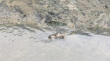 泰山貴子坑溪驚見「豬屍橫躺」!鑑識人員回應了