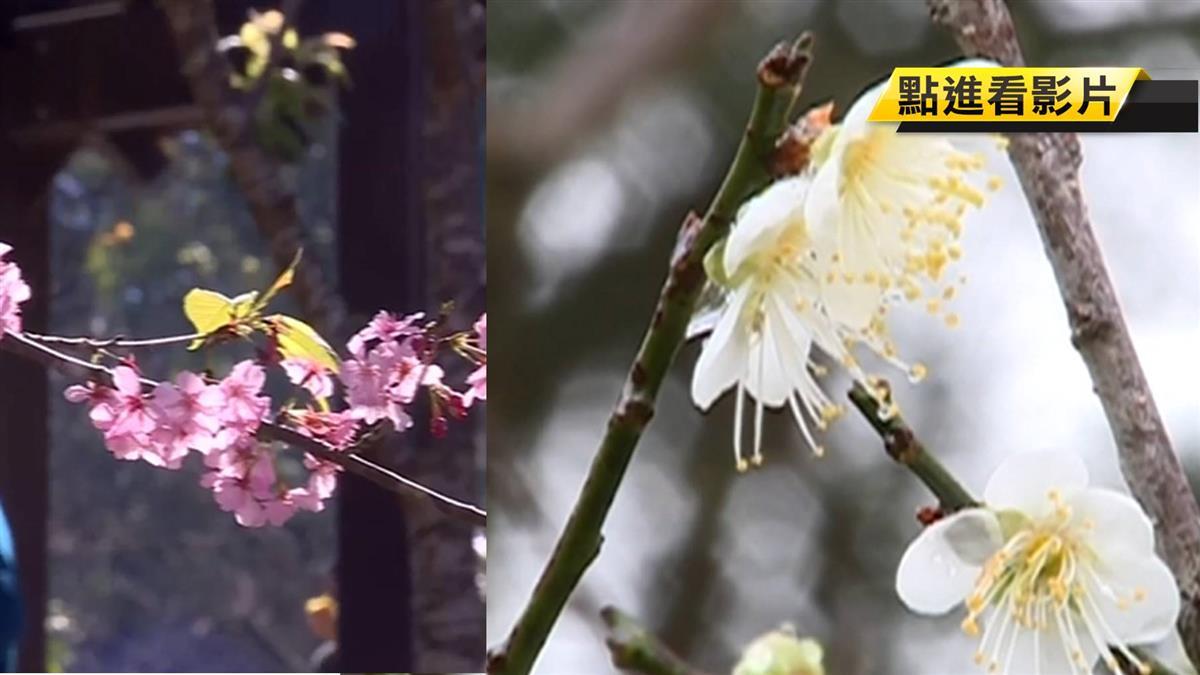 韓國瑜力推六龜觀光 暖冬效應梅櫻交錯爭艷