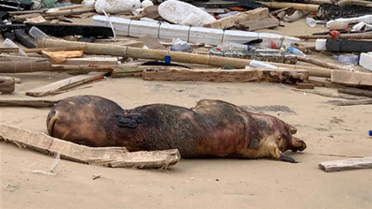 金門海漂豬半徑5公里豬場 非洲豬瘟檢驗全陰性
