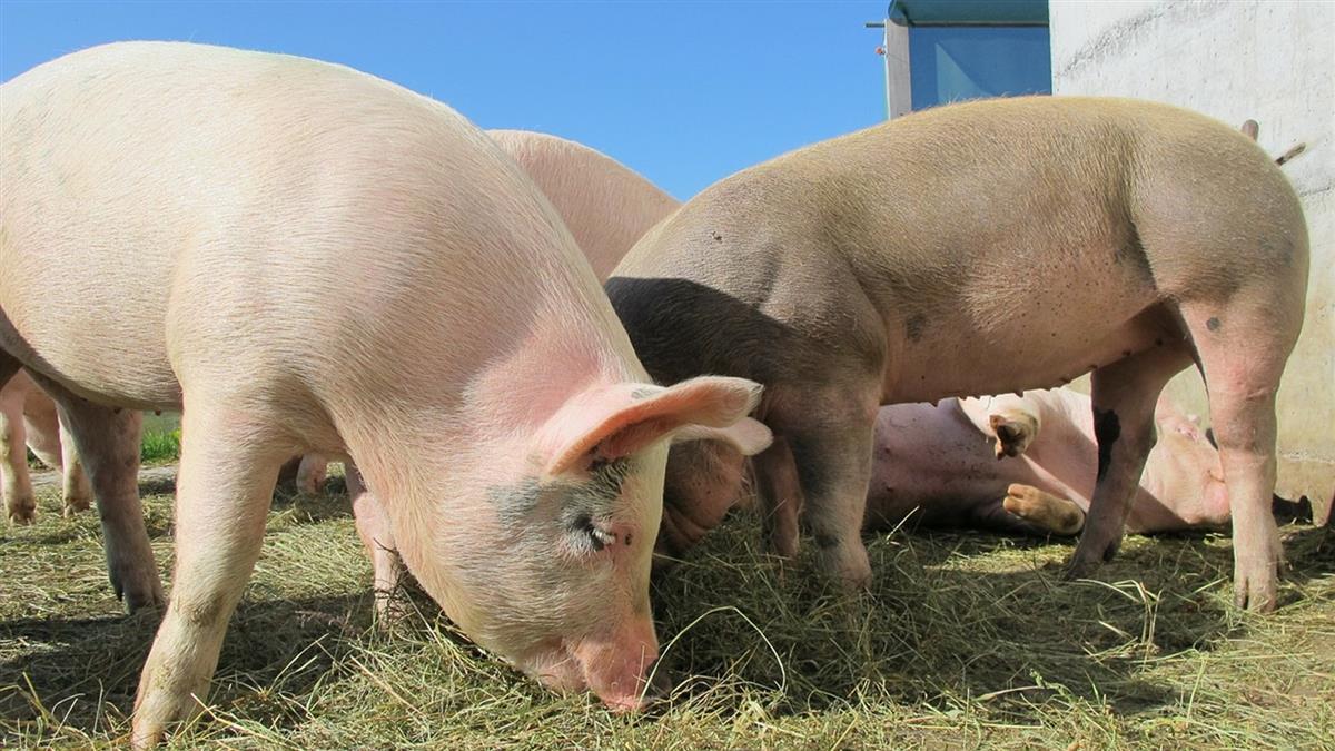 豬瘟太可怕!改用飼料養豬 業者憂不敷成本